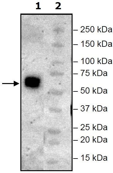 Western blot - Recombinant Mouse TIGIT protein (Tagged) (Biotin) (ab271760)