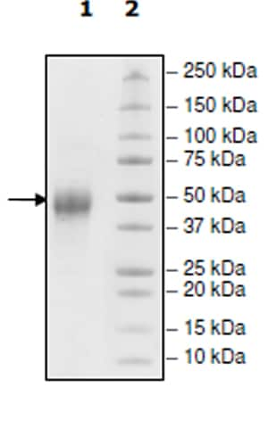 SDS-PAGE - Recombinant Human TIM 3 protein (Tagged) (Biotin) (ab271766)