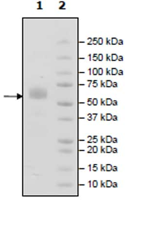 SDS-PAGE - Recombinant Mouse TREM2 protein (Tagged) (ab271771)