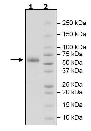 SDS-PAGE - Recombinant Human TREM2 protein (Tagged) (Biotin) (ab271773)