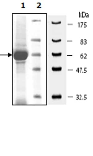 SDS-PAGE - Recombinant human TrkA protein (Active) (ab271774)