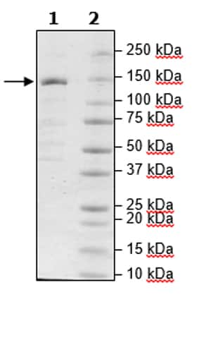 SDS-PAGE - Recombinant Human ZCH11 protein (Tagged) (Biotin) (ab271777)