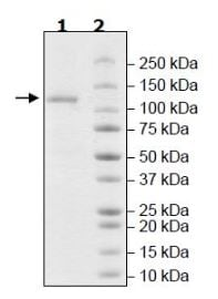 SDS-PAGE - Recombinant Human USP20 protein (Tagged) (ab271783)