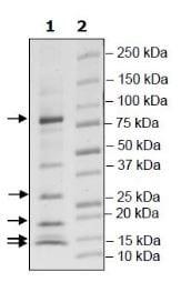 SDS-PAGE - Recombinant Human Cullin 2/CUL-2 + RBX1 + Von Hippel Lindau/VHL + TCEB2/Elongin-B protein (Tagged) (ab271787)