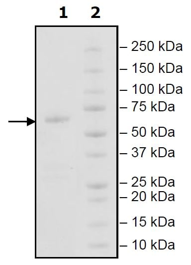 SDS-PAGE - Recombinant Human IGSF11 protein (Tagged) (ab271789)