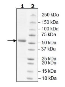 SDS-PAGE - Recombinant Human VSIG8 protein (Tagged) (ab271791)