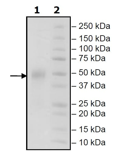 SDS-PAGE - Recombinant Human CD16a (mutated F176 V) protein (Tagged) (ab271801)