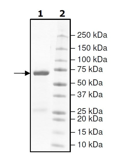 SDS-PAGE - Recombinant human GSK3 beta protein (Tagged) (ab271802)