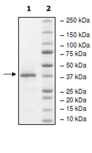 SDS-PAGE - Recombinant Human STYXL1 protein (Tagged) (ab271807)