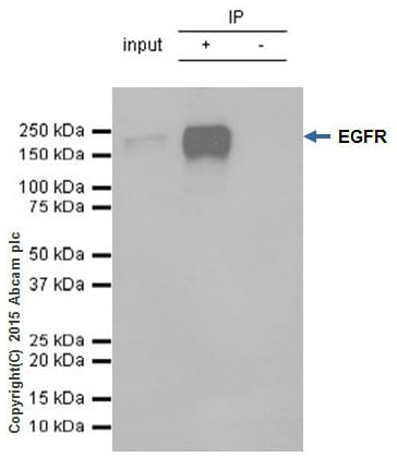 Immunoprecipitation - Anti-EGFR antibody [E114] - BSA and Azide free (ab271834)