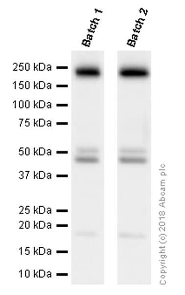 Western blot - Anti-PDGFR alpha + PDGFR beta antibody [Y92] - BSA and Azide free (ab271835)