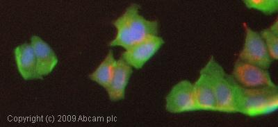 Immunocytochemistry/ Immunofluorescence - Anti-MMP1 antibody [EP1247Y] - BSA and Azide free (ab271845)