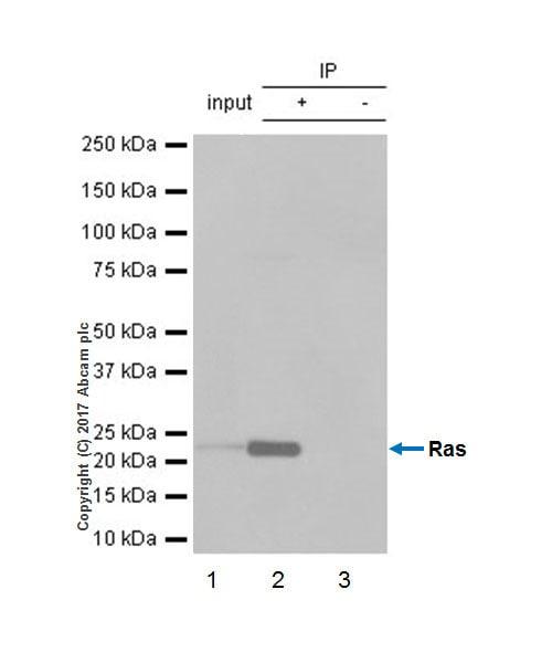 Immunoprecipitation - Anti-Ras antibody [EP1125Y] - BSA and Azide free (ab271848)