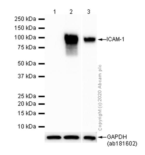 Western blot - Anti-ICAM1 antibody [EP1442Y] - BSA and Azide free (ab271852)