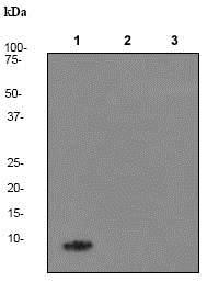 Western blot - Anti-beta Amyloid 1-40 antibody [EP1876Y] - BSA and Azide free (ab271860)