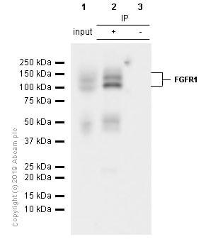 Immunoprecipitation - Anti-FGFR1 antibody [EPR806Y] - BSA and Azide free (ab271861)