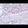 Immunohistochemistry (Formalin/PFA-fixed paraffin-embedded sections) - Anti-Nestin antibody [SP103] - BSA and Azide free (ab271870)