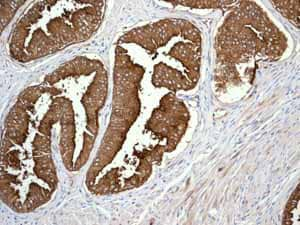 Immunohistochemistry (Formalin/PFA-fixed paraffin-embedded sections) - Anti-CD13 antibody [EPR4058] - BSA and Azide free (ab271872)