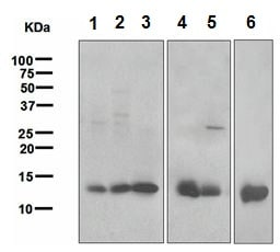 Western blot - Anti-Galectin 1 antibody [EPR3205] - BSA and Azide free (ab271876)