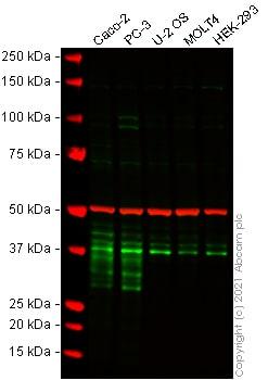 Western blot - Anti-DKK1 antibody [EPR4759] - BSA and Azide free (ab271882)