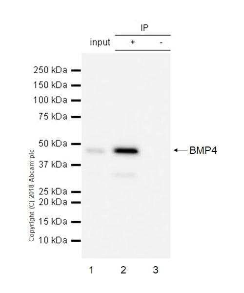 Immunoprecipitation - Anti-BMP4 antibody [EPR6211] - BSA and Azide free (ab271886)