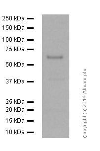 Western blot - Anti-AMPK alpha 1 (phospho T183) + AMPK alpha 2 antibody [EPR5683] - BSA and Azide free (ab271892)