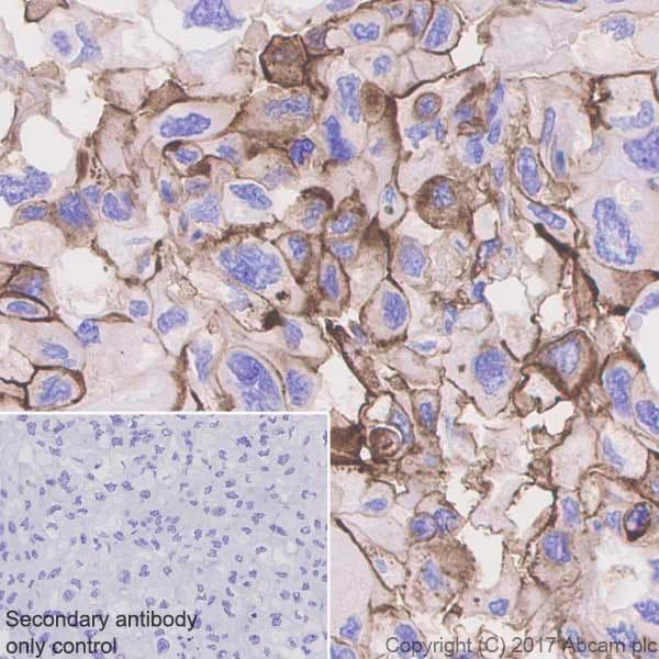 Immunohistochemistry (Formalin/PFA-fixed paraffin-embedded sections) - Anti-CD73 antibody [EPR6114] - BSA and Azide free (ab271895)