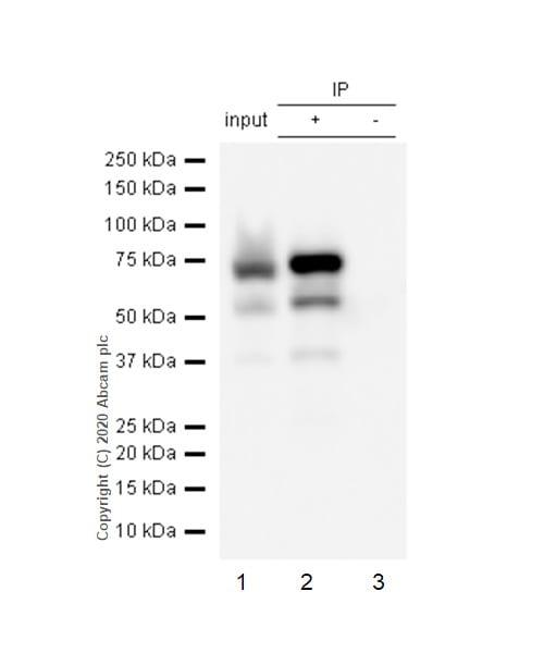 Immunoprecipitation - Anti-alpha 1 Fetoprotein antibody [EPAFP61] - BSA and Azide free (ab271896)