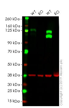 Western blot - Anti-Integrin beta 1 antibody [EPR1040Y] - BSA and Azide free (ab271909)