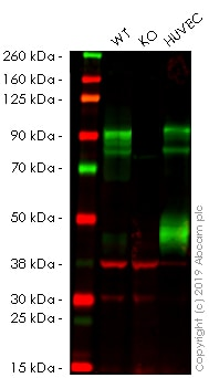 Western blot - Anti-CD105 antibody [EPR10145-12] - BSA and Azide free (ab271922)