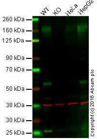Western blot - Anti-P Glycoprotein antibody [EPR10363] - BSA and Azide free (ab271923)