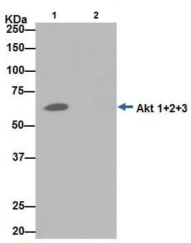 Immunoprecipitation - Anti-AKT1 + AKT2 + AKT3 antibody [EPR16798] - BSA and Azide free (ab271930)