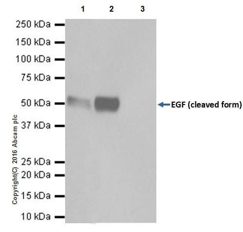 Immunoprecipitation - Anti-EGF antibody [EPR19174] - BSA and Azide free (ab271946)