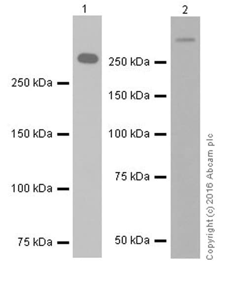 Western blot - Anti-Laminin alpha 5/LAMA5 antibody [EPR18919] - BSA and Azide free (ab271947)