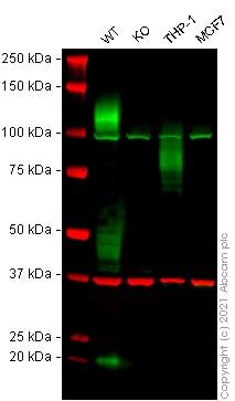 Western blot - Anti-SIRP alpha antibody [EPR16264] - BSA and Azide free (ab271957)