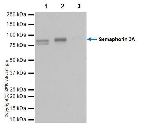 Immunoprecipitation - Anti-Semaphorin 3A antibody [EPR19367] - BSA and Azide free (ab271964)
