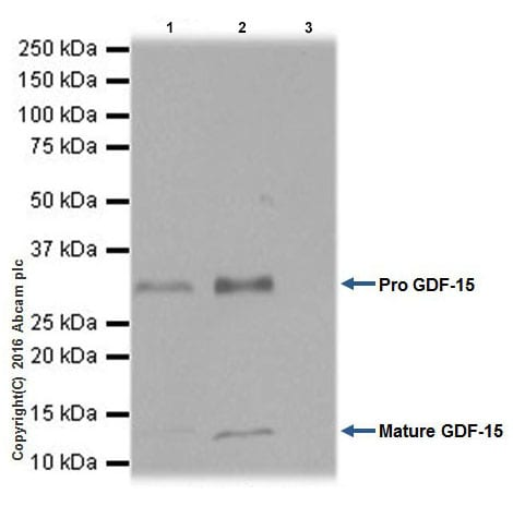 Immunoprecipitation - Anti-GDF15 antibody [EPR19939] - BSA and Azide free (ab271973)