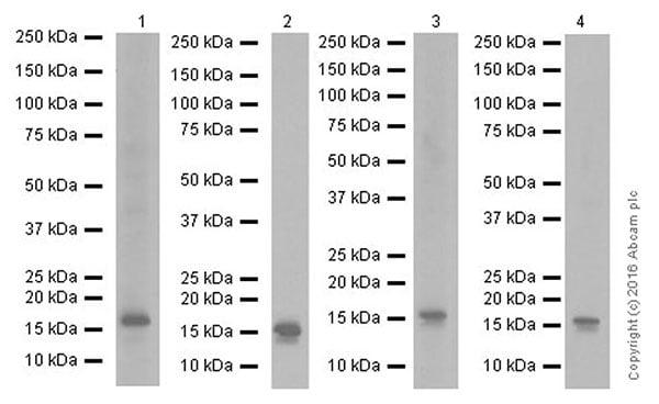Western blot - Anti-FGF1 antibody [EPR19989] - BSA and Azide free (ab271978)