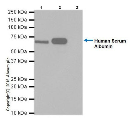 Immunoprecipitation - Anti-Albumin antibody [EPR20195] - BSA and Azide free (ab271979)