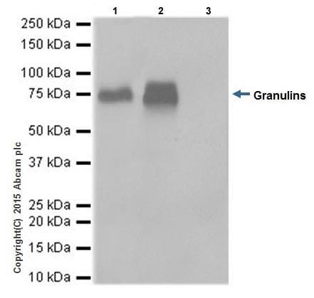 Immunoprecipitation - Anti-Granulin antibody [EPR15864] - BSA and Azide free (ab271984)