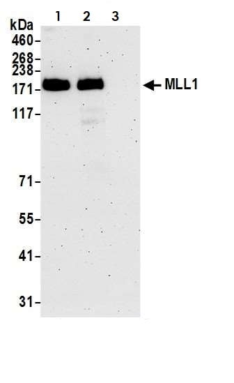 Immunoprecipitation - Anti-KMT2A / MLL antibody (ab272023)