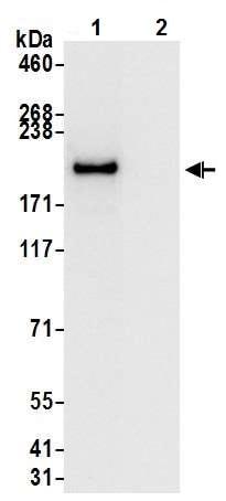 Immunoprecipitation - Anti-Brd4 antibody [BL-149-2H5] - BSA free (ab272042)