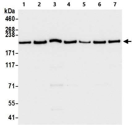 Western blot - Anti-Brd4 antibody [BL-149-2H5] - BSA and Azide free (ab272042)