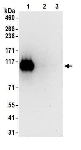Immunoprecipitation - Anti-KAP1 (phospho S824) antibody [BL-246-7B5] - BSA and Azide free (ab272068)