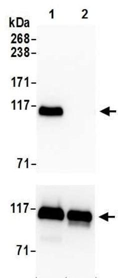 Western blot - Anti-KAP1 (phospho S824) antibody [BL-246-7B5] - BSA and Azide free (ab272068)