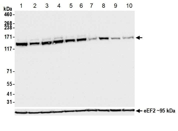 Western blot - Anti-HAUSP / USP7 antibody [BLR072G] - BSA and Azide free (ab272079)