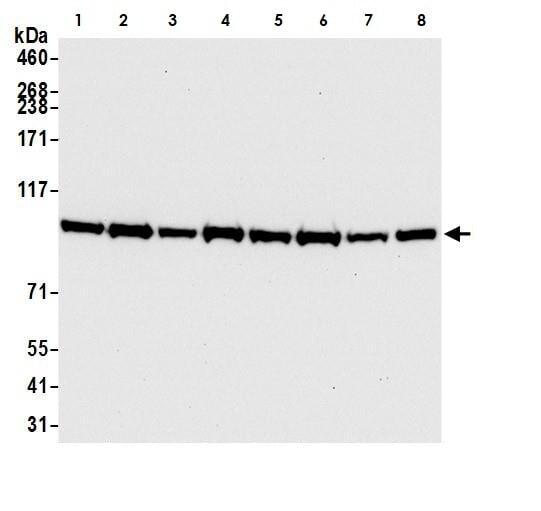 Western blot - Anti-BRD3 antibody [BLR069G] - BSA and Azide free (ab272081)