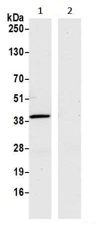 Immunoprecipitation - Anti-Liver Arginase antibody [BLR036F] - BSA and Azide free (ab272083)