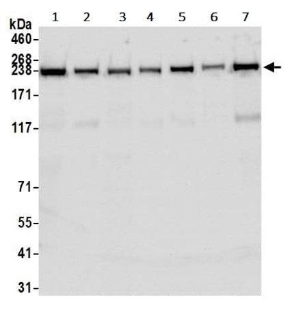 Western blot - Anti-TRAP220/MED1 antibody [BLR037F] - BSA and Azide free (ab272086)