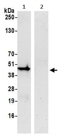 Immunoprecipitation - Anti-IRF1 antibody [BLR039F] - BSA and Azide free (ab272088)